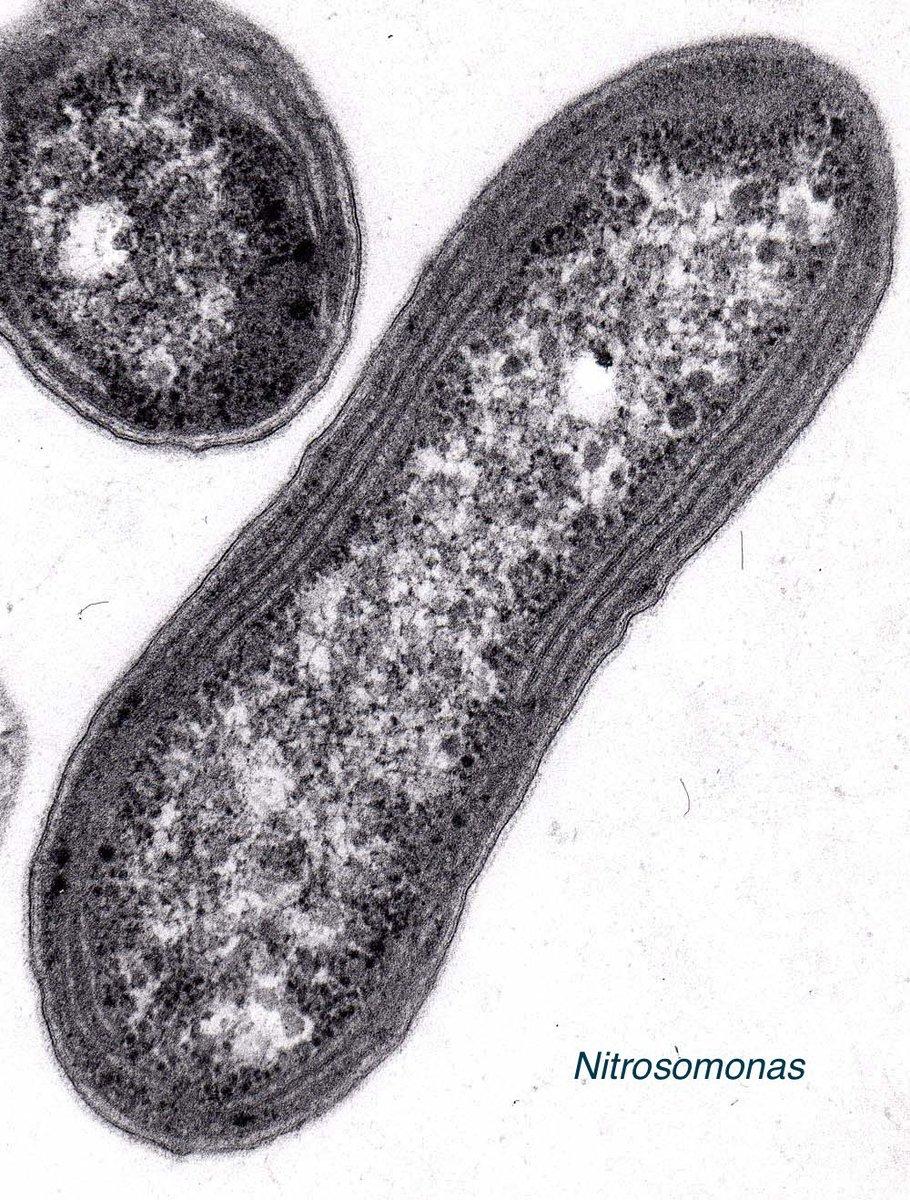 2/2 Bacterias nitrificantes tienen membranas internas con enzimas claves para la oxidación NH3 - NO2 - NO3 #microMOOC http://t.co/MlWee46y0O