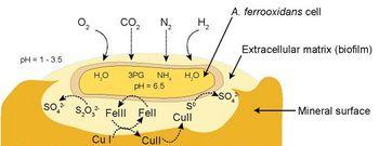 Acidithiobacillus (antes Thiobacillus) ferrooxidans n pirita (FeS2) metaboliza hierro   azufre produce SH2 #microMOOC http://t.co/nZ482a6Lzb