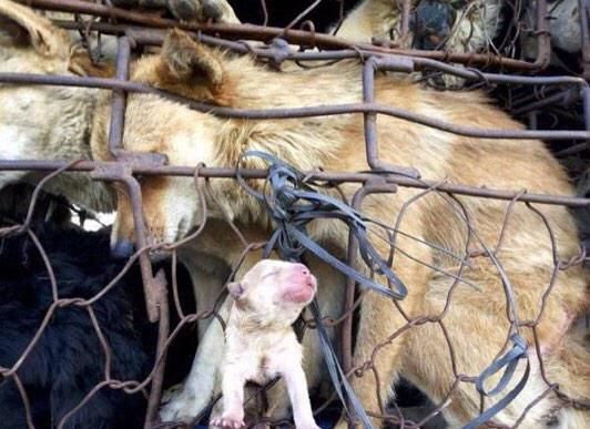 Image result for yulin meat festival