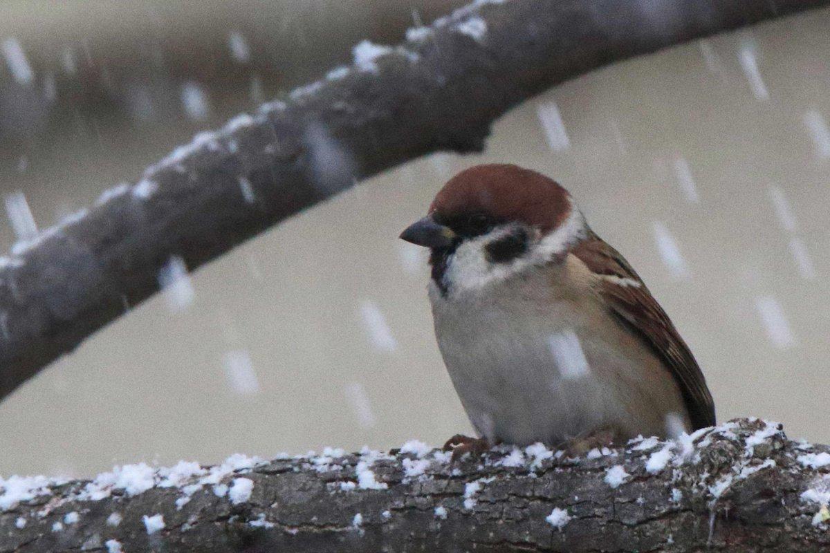 木の枝に止まって、じっと吹雪に耐えているスズメ。がんばれ(^o^) pic.twitter.com/jTU5DTyqu8