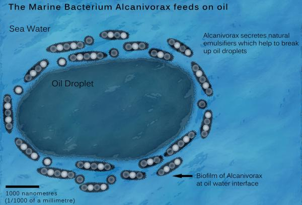Alcanivorax borkumensis, la bacteria que se come el petróleo #microMOOC http://t.co/cVLEJKXLQ1