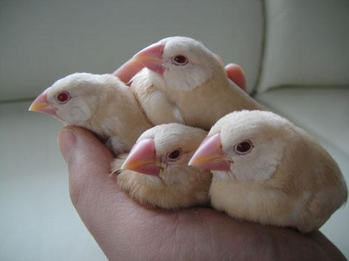 文鳥の雛を手に乗せて、数分後。 pic.twitter.com/Y9Fht4kVtG