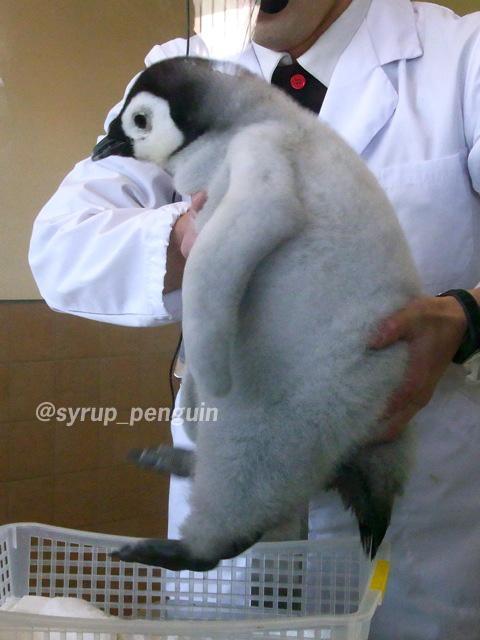 #アドベンチャーワールド #エンペラーペンギン #コウテイペンギン  もふもふが足りないあなたへ♡