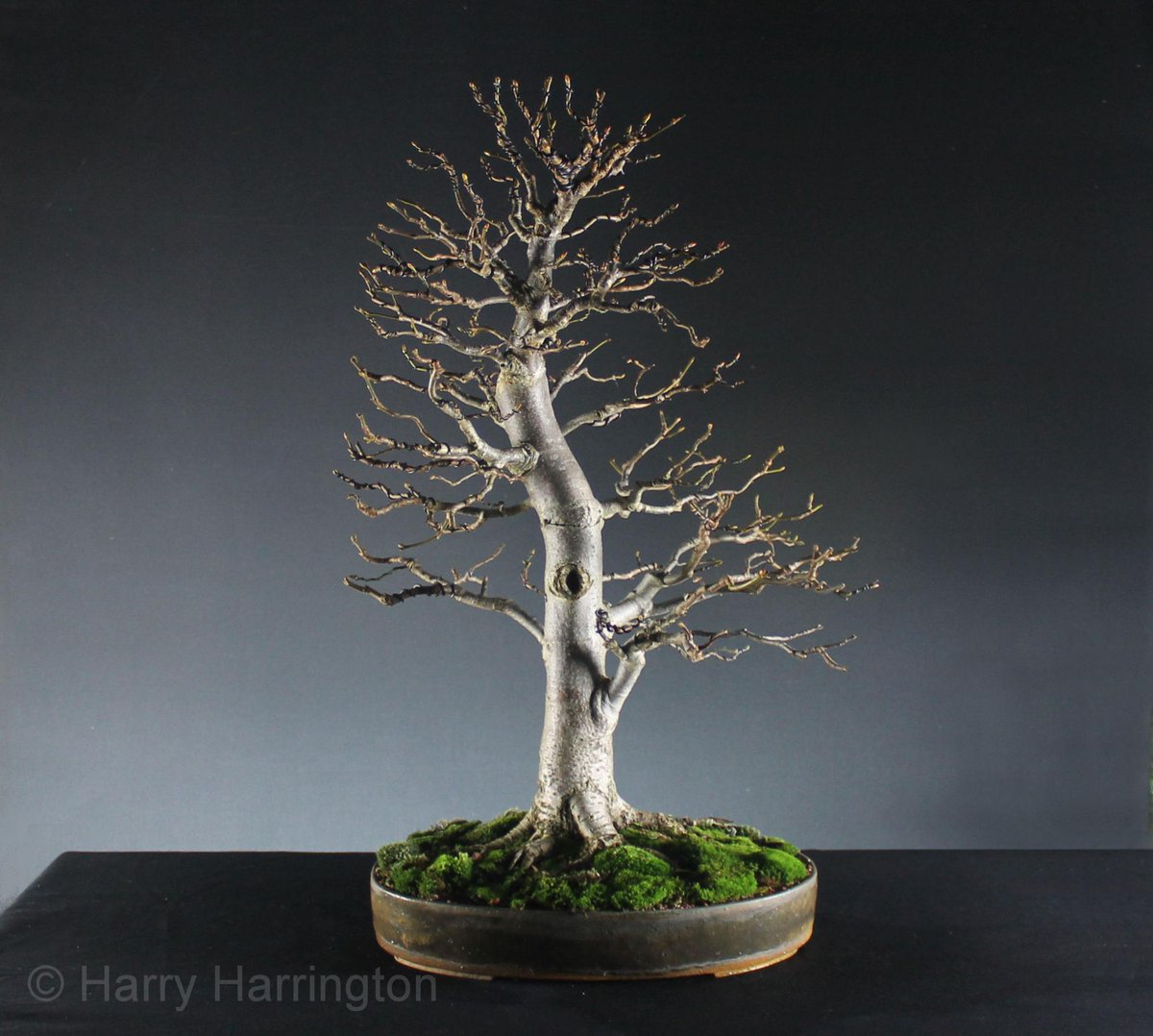 Harry Harrington On Twitter My Tilia Cordata Bonsai After Autumn Wiring Pruning And Height 22 56cm In Development Since 2001 Linden