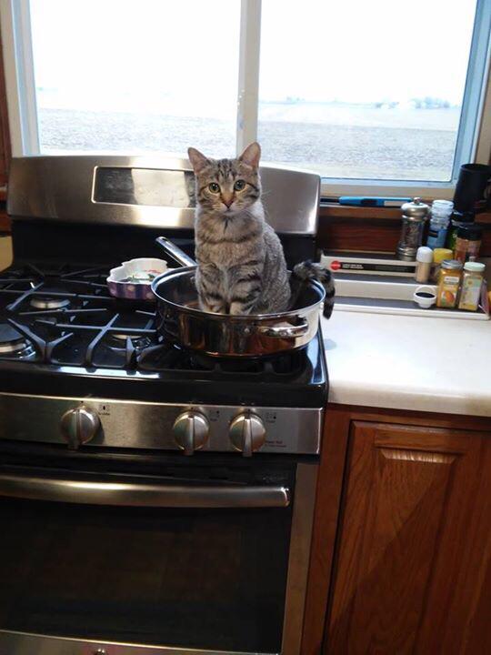 「飯食う金もねぇわ〜」とグチってたら飼い猫がピョコンとフライパンに。...もっと仕事頑張らねば。 pic.twitter.com/KqnahsSttB