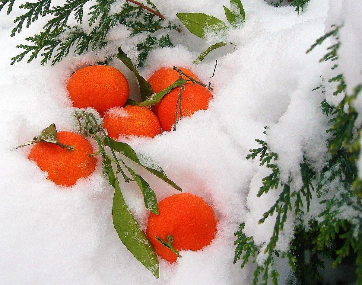 Картинки дерево в снегу средняя группа тевтонского ордена