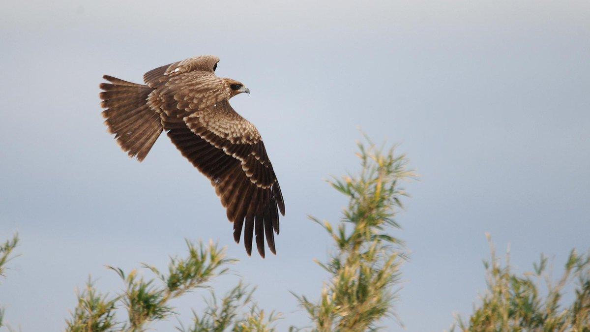 館山市国分の耕作地にて。たまにはトビもね。 普通にいる野鳥もたまにはレンズを向けないと、居るのか居ないのかわからないし。 http://t.co/lrNVPP2k2v