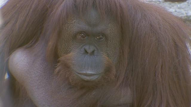 Tribunale concede diritti umani a una scimmia in Argentina