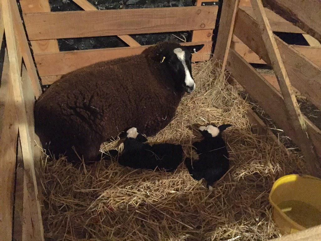 "Welcome, Christmas Eve eve lambs! ""@ZwartblesIE: Relaxing after the duel adventure of giving birth & being born http://t.co/mLqwQZEpbd"""