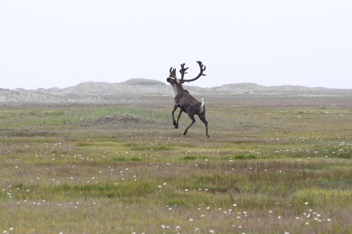 Santa's reindeer vacation at Ikpek Lagoon in Bering Land Bridge National Preserve. http://t.co/9bV5t07Vwm ~sab http://t.co/rce48Ef6GG