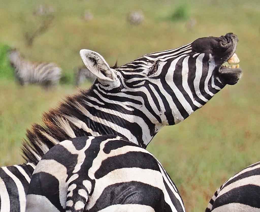 This zebra in #Ethiopia's Nechasar National Park seems full of #cheer! #frifotos http://t.co/u5zeZgxL6L