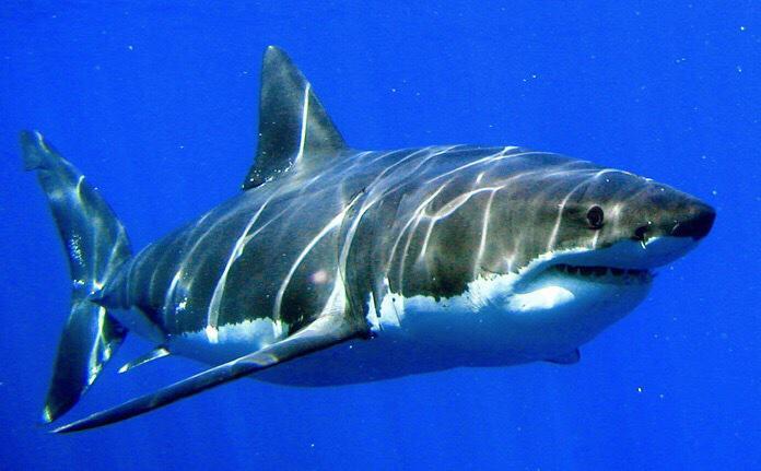 ・ホホジロザメ(4.8〜6.4m 生息地:あらゆる海、多くは沿岸)(Great white shark 4.8〜6.4m Habitat:Every sea,most of the coastal waters) https://t.co/QlUYoTnni0