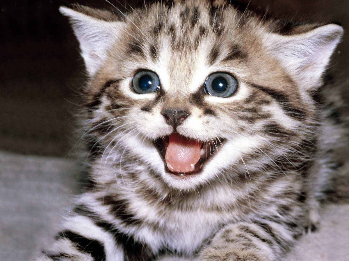 "Super Cute Cats on Twitter: ""Happy kitten! #cute # ..."