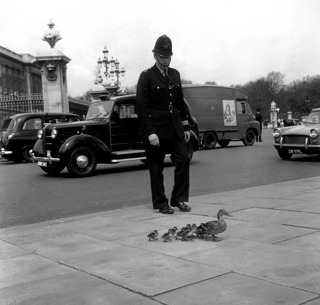 Ducks Get Police Escort Through Downtown Saskatoon