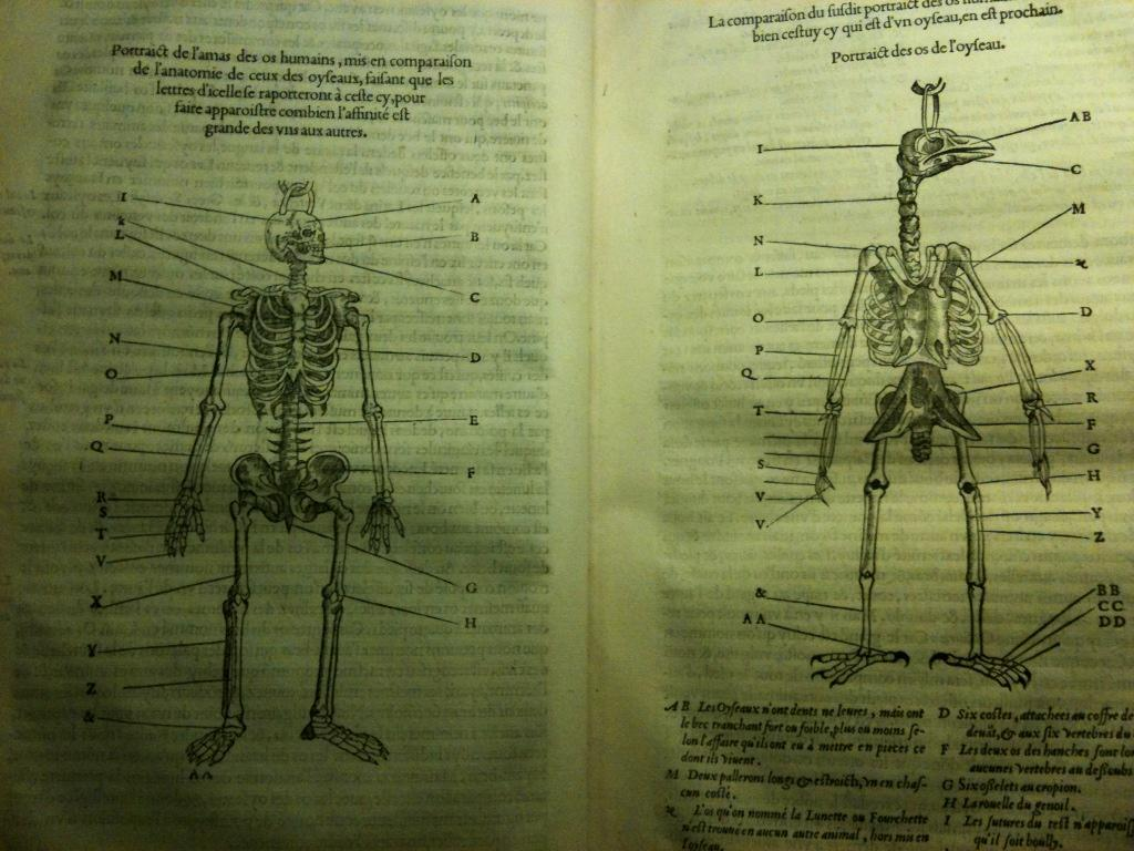 Pierre Belon was the first to compare the skeletal anatomy of a bird to that of humans (1555) http://t.co/mLMEG5vW58