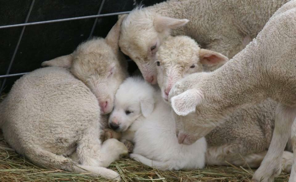 Portrait of love #animalwelfare #love #awesome #lambs #puppy #family #nature #animals #AnimalRights http://t.co/oazrhkC0zN