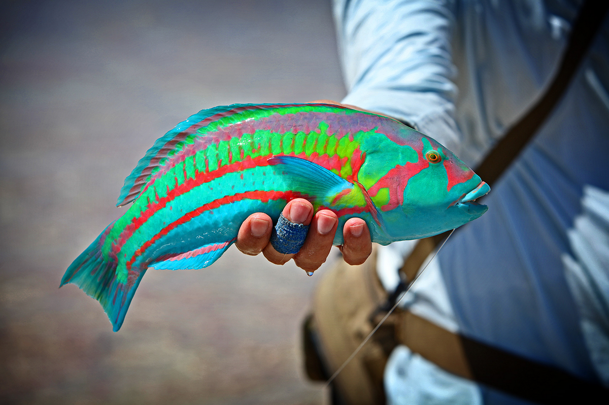 The Unbelievable Rainbow Wrasse:  http://t.co/avvdL41JAY  @HarperStudios #flyfishing http://t.co/QAfVhGsU5l