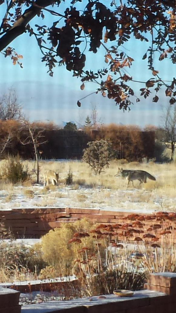 Coyotes hunting on New Year's day in my backyard. http://t.co/KM0CD7ppo3