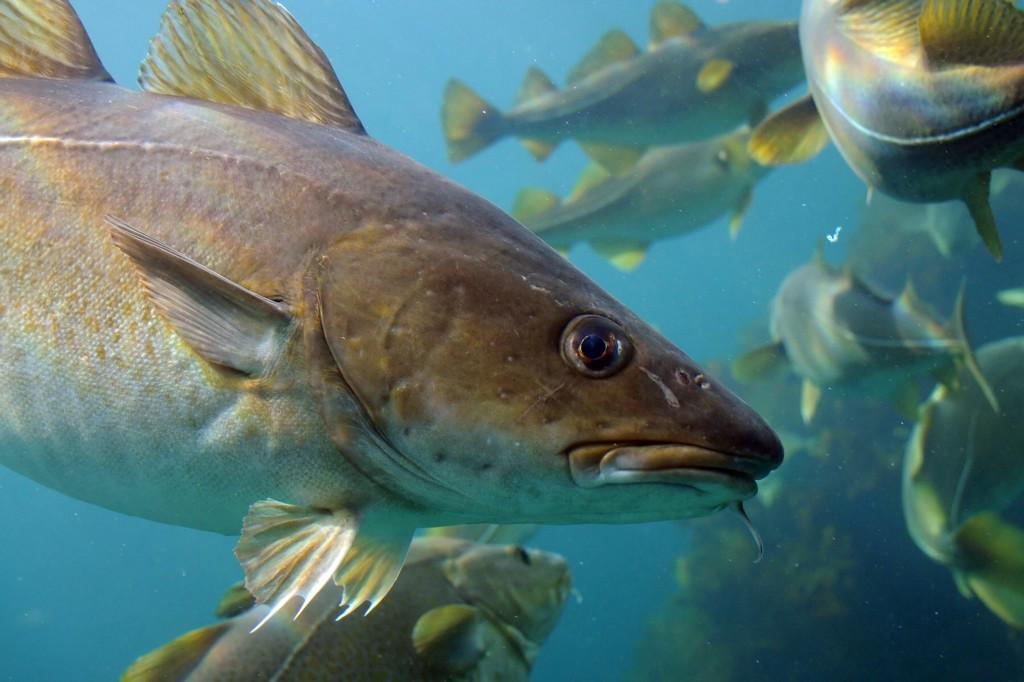 Where Have All the Cod Gone? A look at 150 years of #overfishing,  http://t.co/xsjnBz7cCs @nytopinion @UofNH http://t.co/HlyNEHbDzq