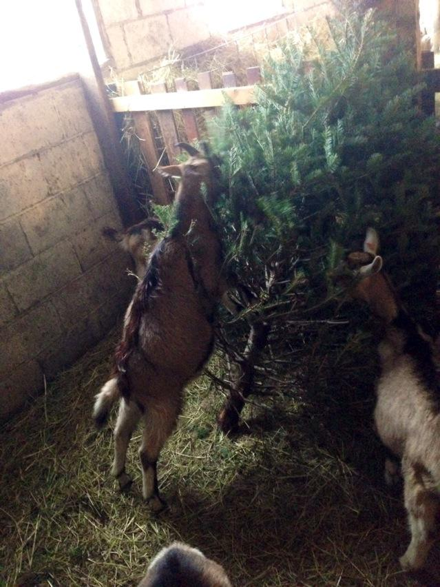 Vermont Goat Collaborative's annual Christmas tree recycling program... Cc @xeni http://t.co/8v7ub3fVbc