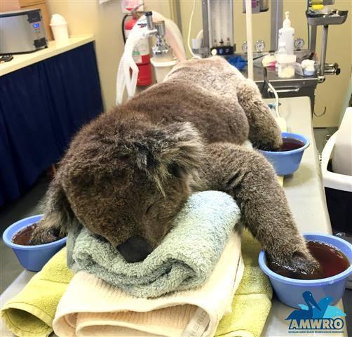 #paws RT @891adelaide: Jeremy the koala recovering well from #Sampson_Flat #bushfire injuries http://t.co/NdFXVsv8Kr http://t.co/Kjxw7hCr8o