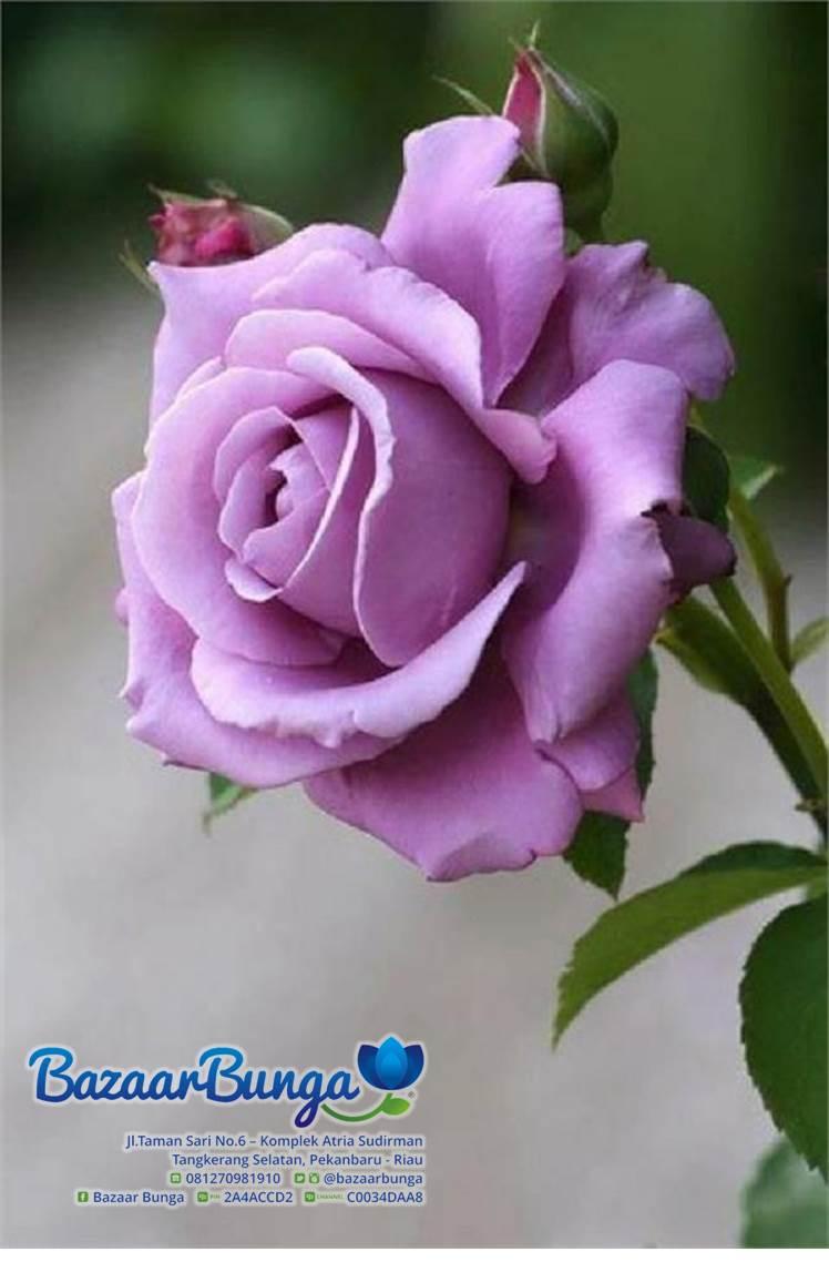 Unduh 84+ Gambar Bunga Ros Paling Cantik HD Terbaru