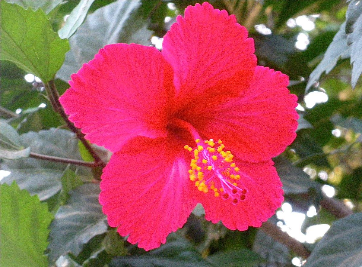 Haiti kiddos on twitter hibiscus haitis national flower nature haiti kiddos on twitter hibiscus haitis national flower nature photography discover haiti explore carribean httptzu1pvpgjah izmirmasajfo
