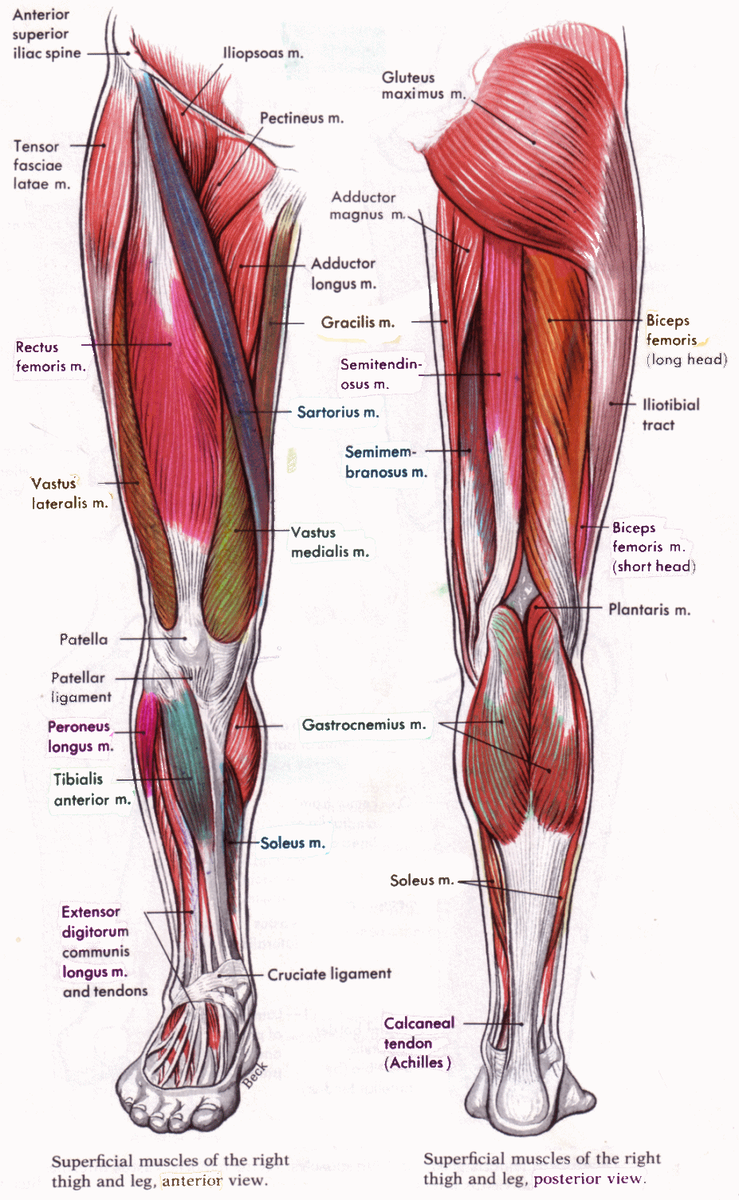 Massage By Design On Twitter Outline Of The Muscles And Ligaments