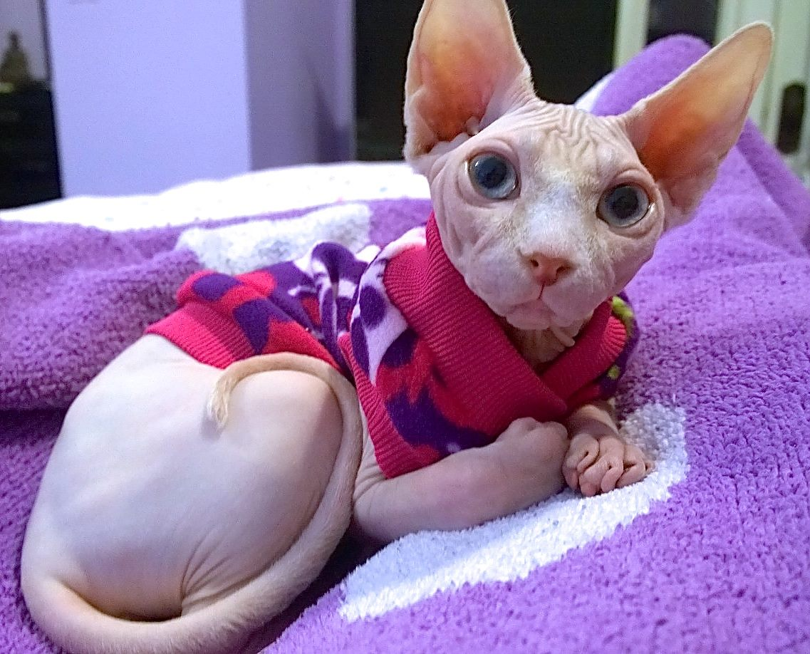 Rocking the BEST Sphynx clothes there are! http://t.co/1lRI2xQM7F #RichPeopleProblems #sphynx http://t.co/4Ujl6KKe5R