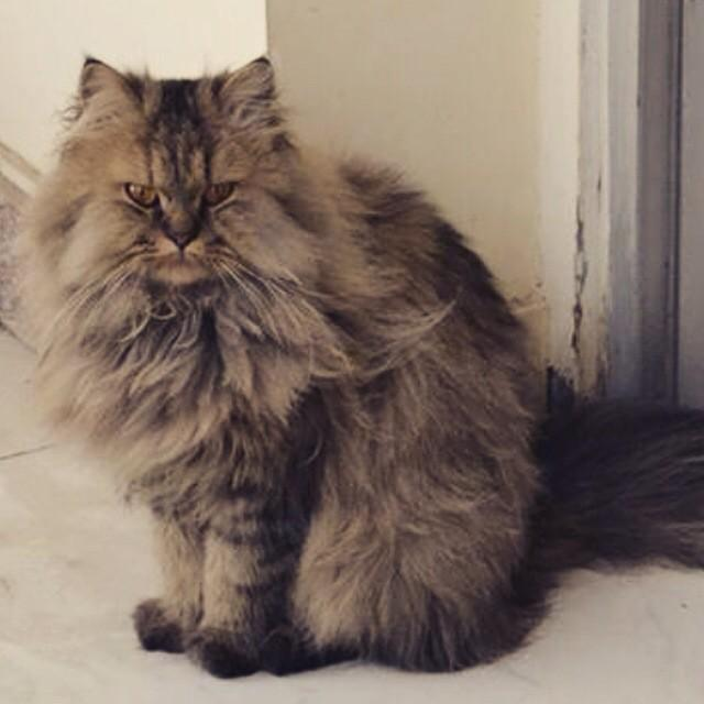 Please help me find my#lost #cat in maadi nerco http://t.co/qTS3rCRt14