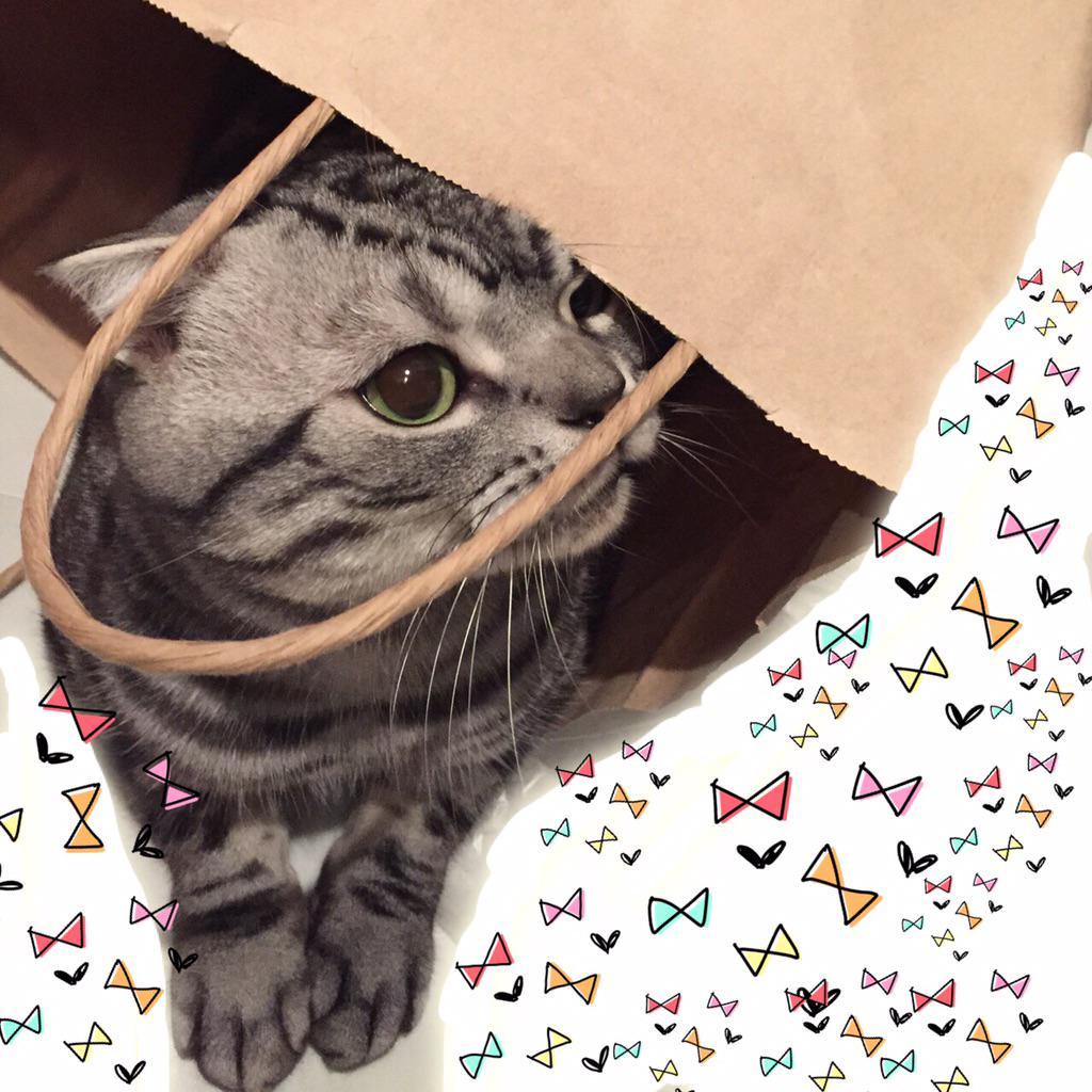 自分から紙袋の中に入っちゃう。猫あるある。おはようございます。#猫 #cat #ビス pic.twitter.com/oIKhzqPRoq