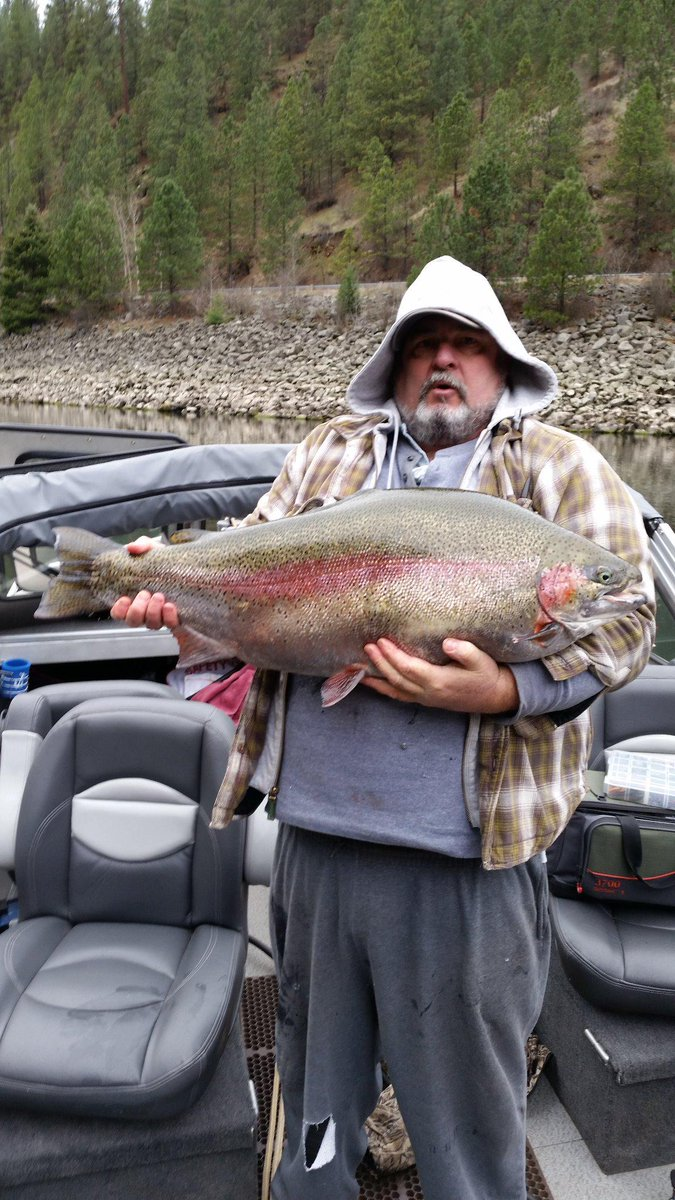 This giant rainbow is still swimming in the Clearwater River! Larry Warren released after weighing at more than 28lbs http://t.co/X9eH9wTQuf