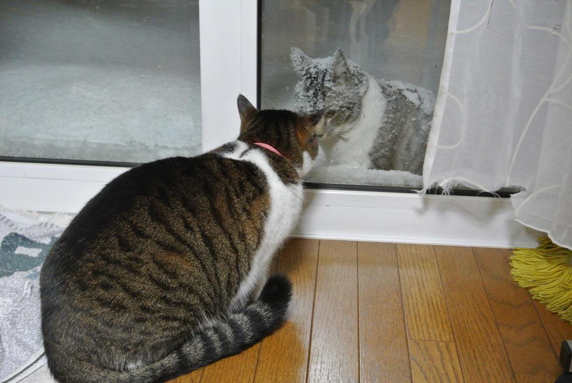 猫飼ってる青森の友人宅。雪の降る寒い中、毎日外の猫が会いにくる。「それって恋してるんじゃないか…」って思ったけど毎回喧嘩売って帰ってくだけらしい…この前は1時間くらい怒ってたそうです。 pic.twitter.com/TZ2cN9p87I