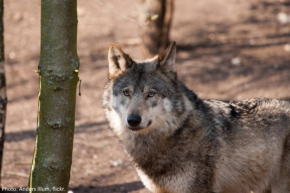 Another wandering wolf has found its way to the Cascades of southwestern Oregon: http://t.co/invlKG2F6x http://t.co/A0fqqvuZ6n