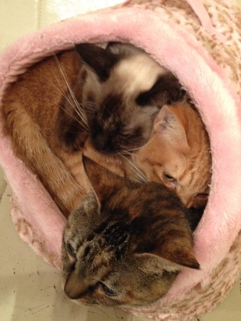 せまくないの!?重くないの!?なんでわざわざそこなの!?!? #neko #cats #猫カフェ http://t.co/xfGNTeuyB1