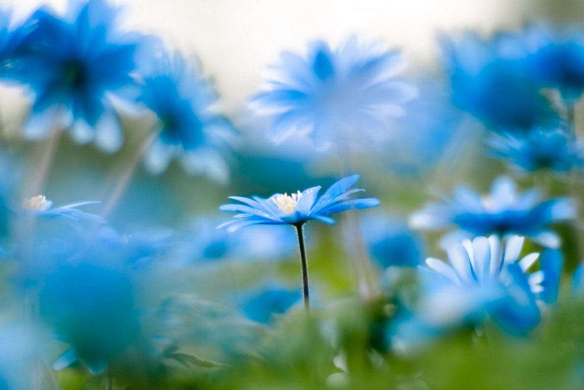 Blue daisy flower meaning new best flower of 2018 daisy flower meaning and symbolism to a special gift izmirmasajfo