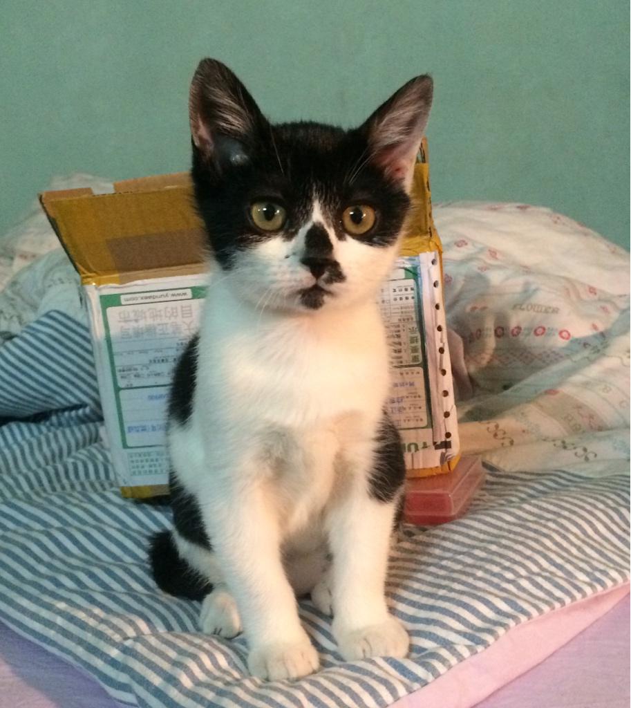 坐标魔都,亲人小公猫求领养,2-3月龄,会吃猫粮用猫砂。要求科学喂养,到龄绝育,不离不弃! http://t.co/ncqUPhPdeF