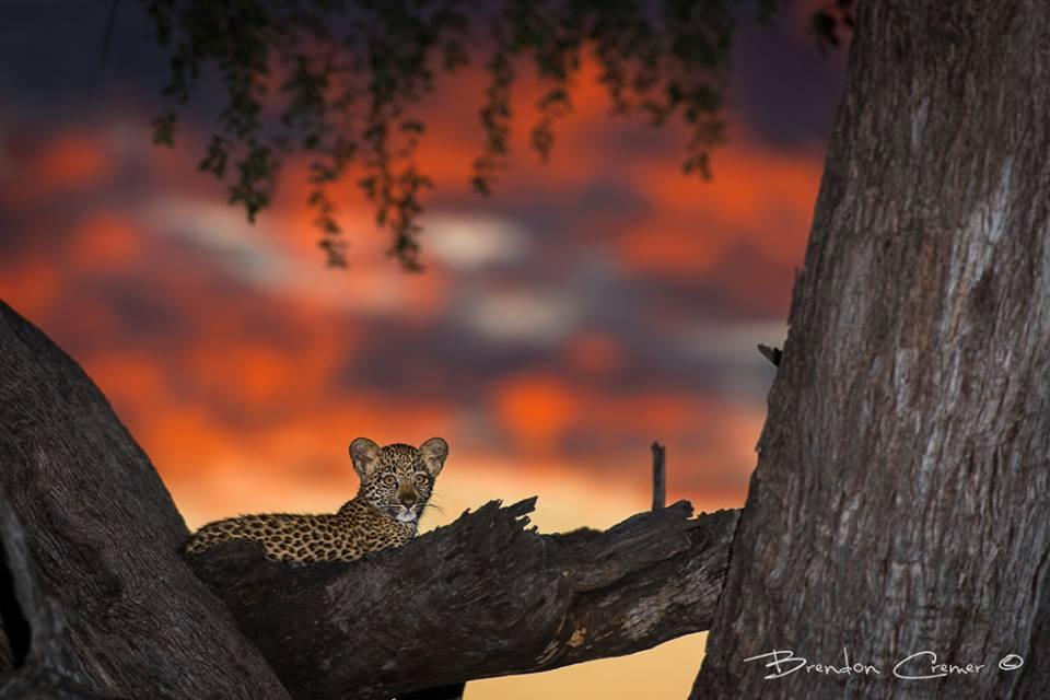 See the spotted cub?  #krugernationalpark #leopard #cub #sunset   Credit: https://t.co/BfxsZ6mluZ http://t.co/kkK1nVEgJW