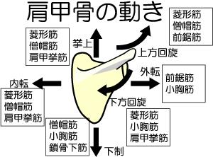 「肩甲骨 動き」の画像検索結果