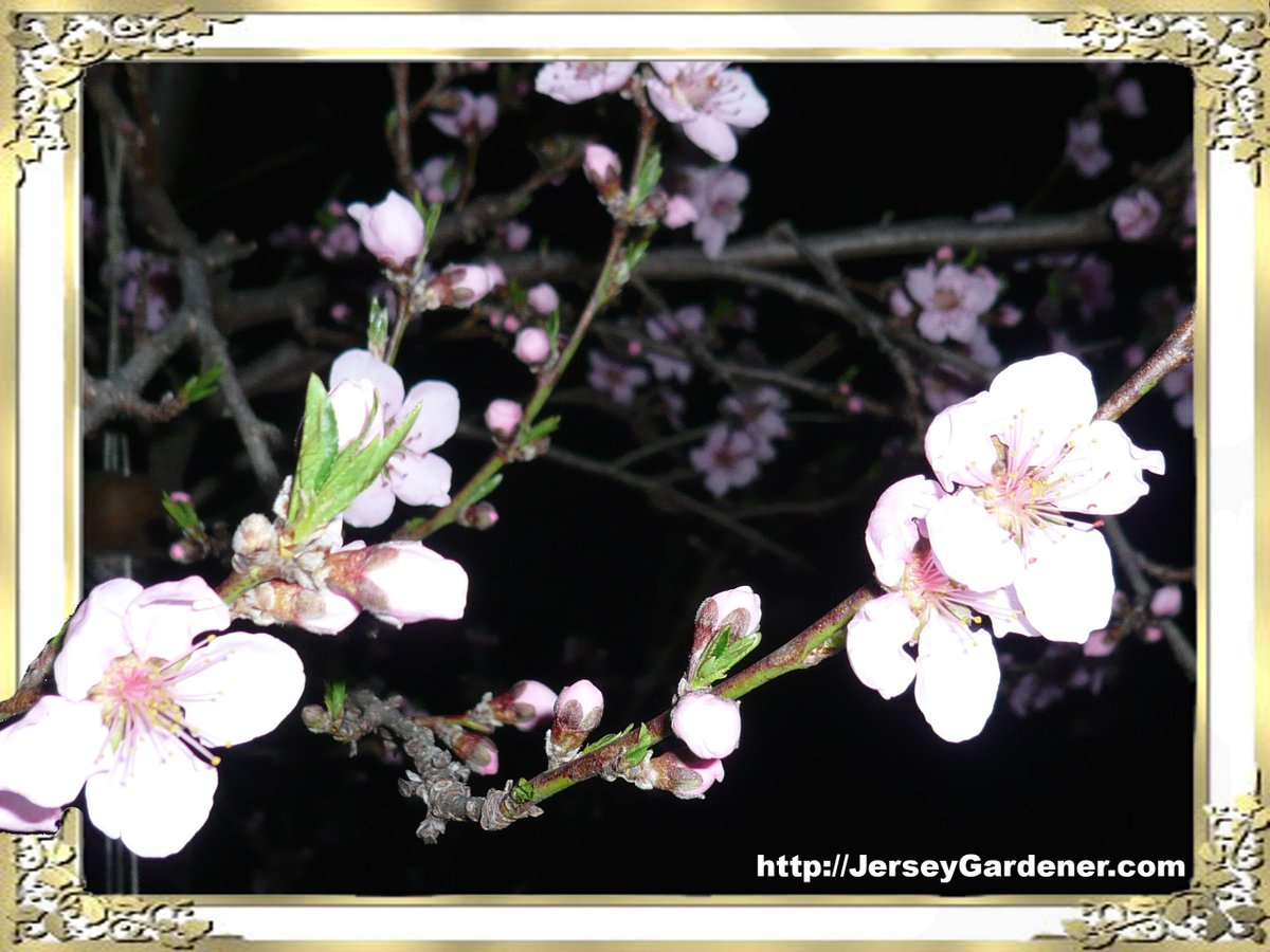 Flowering trees add early color in the garden, this plum adds edible fruit to the #OrganicGarden #gardening #fruit http://t.co/mqttZdD7iR