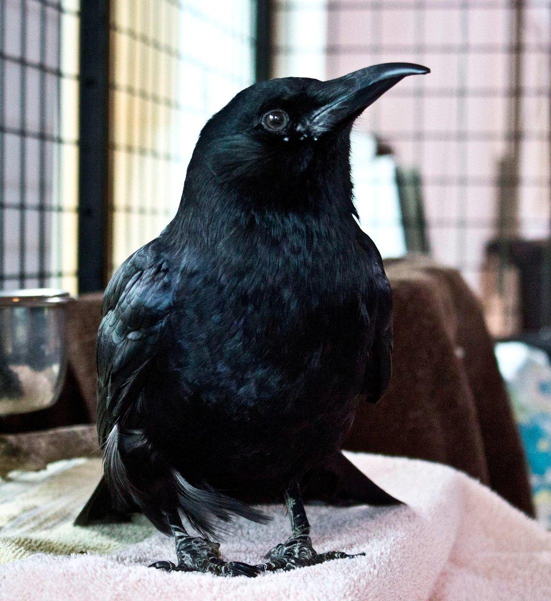 Сердечко, картинки с воронами прикольные