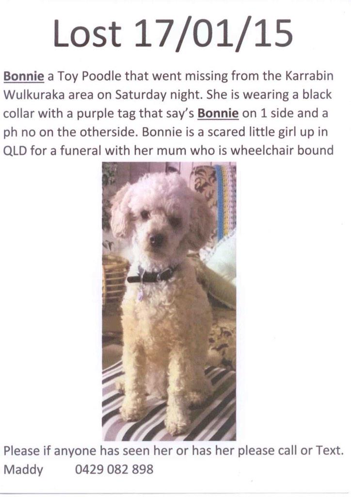 """AUSSIES! IPSWICH QLD LOST 17 Jan """"Bonnie* Toy Pood timid Black collar Call Maddy 0429082898 @RSPCALostFound @RSPCAQld http://t.co/5qgjgYk9EY"""