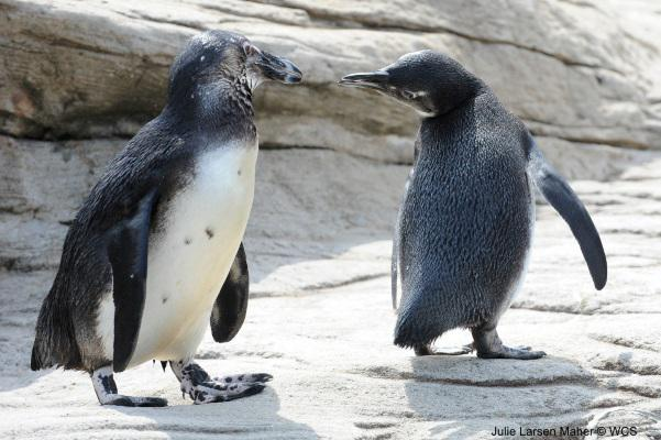 #DYK? To strengthen pair bonds black-footed penguins preen each other & rub their bills together #PenguinAwarenessDay http://t.co/GEgupuSogC