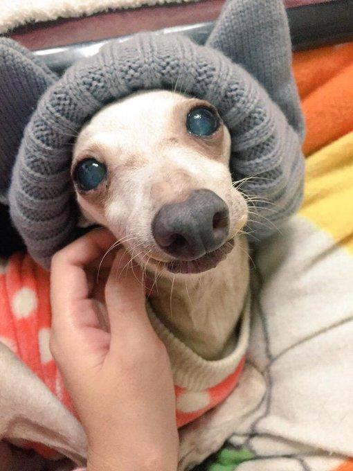 Image result for 犬 Italian Greyhound  葉で遊ぶ