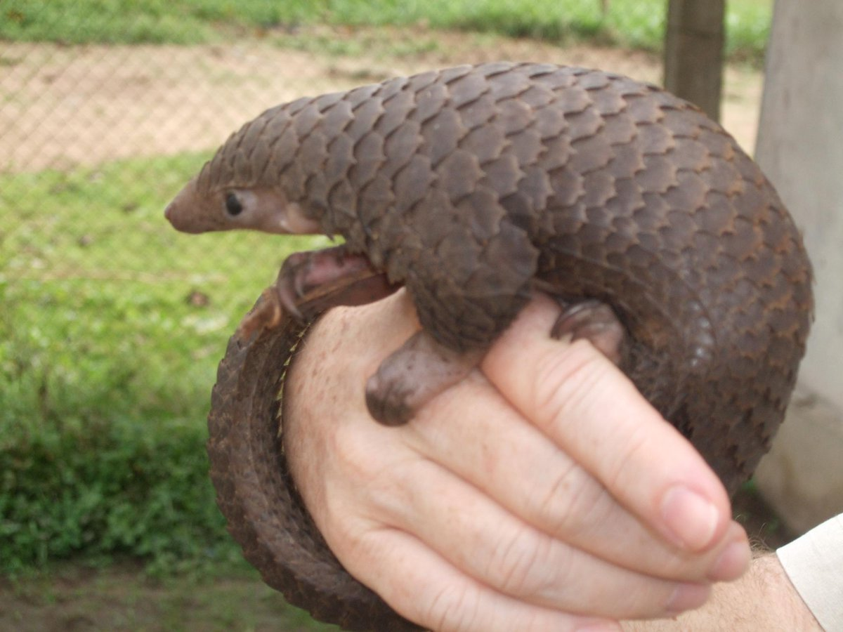 MT @extinctsymbol Pangolins:this prehistoric mammal is facing extinction: http://t.co/kD8obkCBC1 … via @JohnRMoffitt http://t.co/ZtJQD6PGjZ