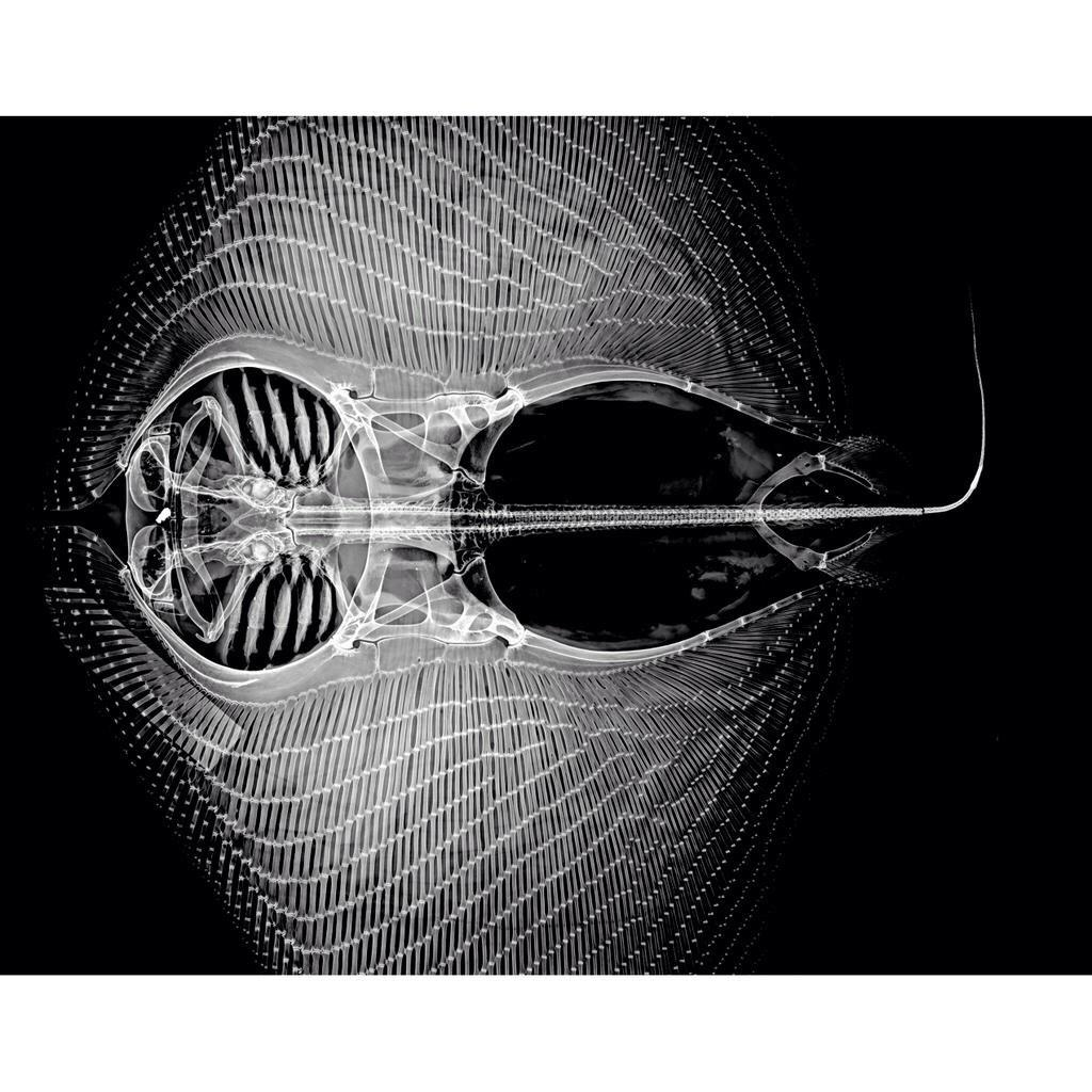 Alien nation.  MT @austmus @mjane_h X-ray of a #stingray. Image: James King © Australian Museum. http://t.co/rFJolHuICg
