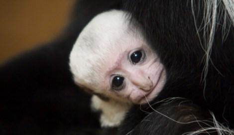 "A dose of cute for your day. . . ""@FOX2now: Baby Colobus monkey born at the @stlzoo #STL http://t.co/SpvfkkRP70"""