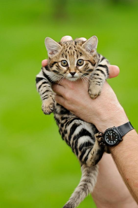 世界最小種の猫「クロアシネコ」が可愛い! pic.twitter.com/lb3wptcZz1