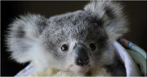 トロピカルズーで撮影された生まれたてのコアラの赤ちゃん! 小さな命に感動できる、とっても貴重な映像です♪ http://t.co/DN5H22egqm http://t.co/NlbyrHM7Dw