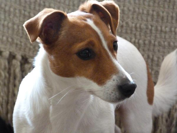 #PAWCIRCLE  RT @FindMacy:  Missing Jack Russell Terrier  Dibden Purlieu area #Southampton https://t.co/bY4dSst4le RT